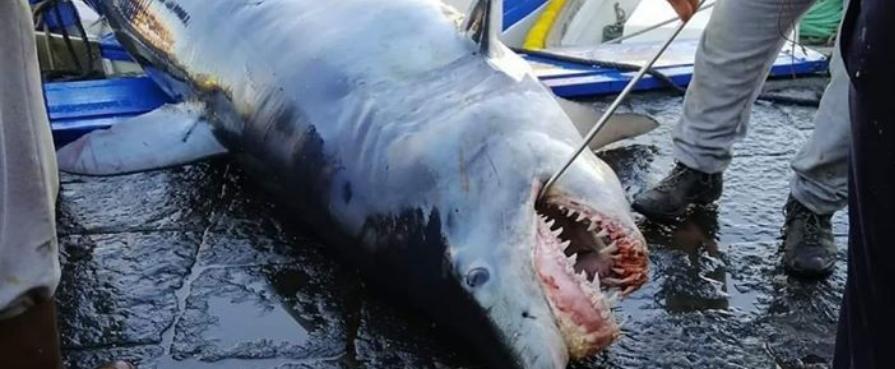 VERGOGNA/VRIUOGNA!!: uno squalo protetto in meno e l'ostentazione macha e becera di pseudopescatori minchioni da banchina