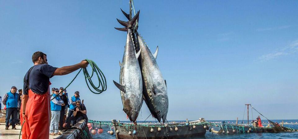 Tonno rosso in pericolo, ogni anno sequestrate 10 tonnellate pescate illegalmente